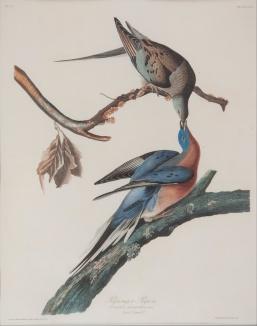 Passenger Pigeon - John J. Audubon, 1838