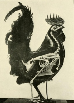 Skeleton of the Chicken - C. William Beebe, 1906