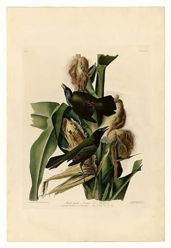 Purple Grackle or Common Crow Blackbird - John James Audubon, circa 1830