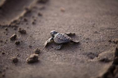 Sea Turtle - Mike Brice, 2014