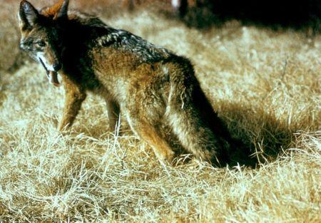 Wild_coyote